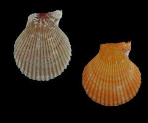 Mimachlamys funebris (Burried scallop)