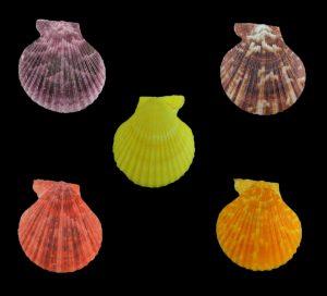 Mimachlamys gloriosa (Glorious scallop)