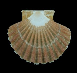 Pecten jacobaeus (St. James's scallop)
