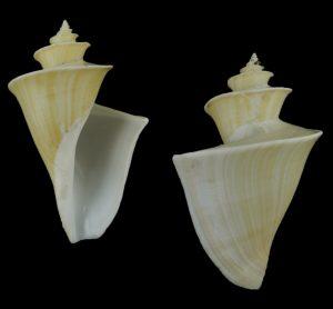 Thatcheria mirabilis (Japanese wonder shell)