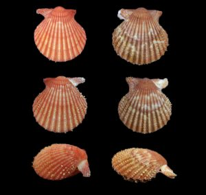 Aequipecten muscosus  (Rough scallop)