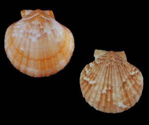 Aequipecten opercularis (Queen scallop)
