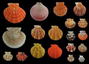 Pectenidae (Scallops)