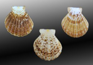 Decatopecten radula (Flatribbed scallop)
