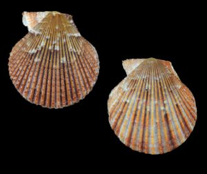Mimachlamys varia (Variegated scallop)