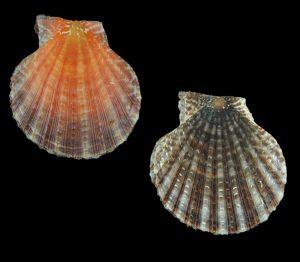 Laevichlamys squamosa (Squamose scallop)