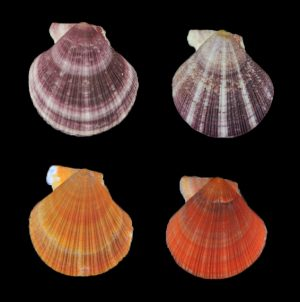 Talochlamys zelandiae (New Zealand fan shell)