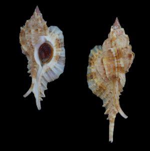 Naquetia barclayi (Barclay's murex)