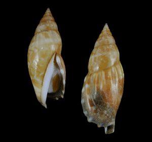 Tridentarius dentatus (Toothed conch)