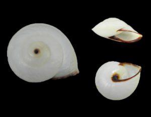 Chloraea dryope