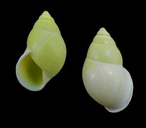 Amphidromus entobaptus culionensis