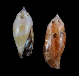 Terestrombus fragilis (Fragile conch)