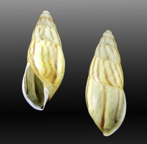 Amphidromus mariasendersae (Maria sanders's amphidromus)