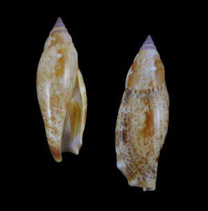 Terestrombus terebellatus (Little auger conch)