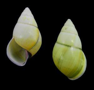 Amphidromus wani