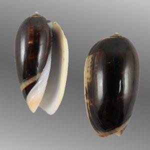 Oliva tigrina glandiformis (Black tiger olive)