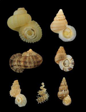 Annulariidae (Ring snails)