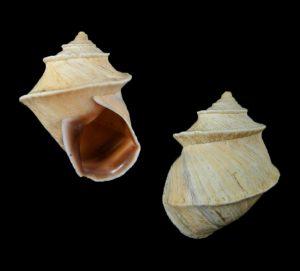 Neopetraeus binneyanus