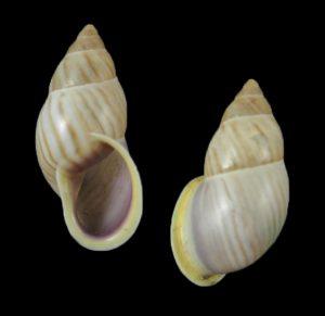 Drymaeus strigatus ceciliae