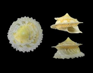 Helicinidae (Etruscan snails)