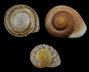Chronidae (Fat snails)