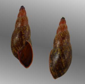 Strophocheilidae