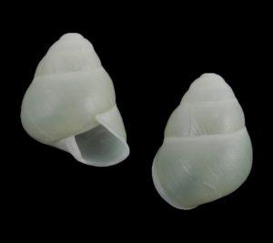 Helicostyla okadai