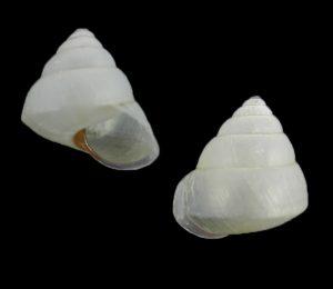 Satsuma phoenicis