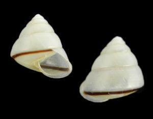 Satsuma polymorpha