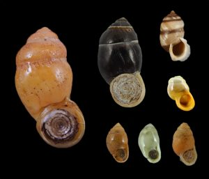 Pupinidae (Glossy Snails)