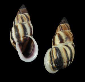 Drymaeus strigatus strigatus