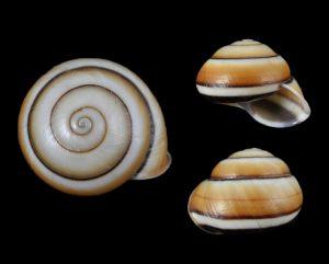 Camaena thanhhoaensis
