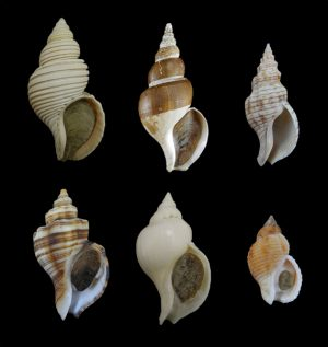 Buccinidae (Whelks)