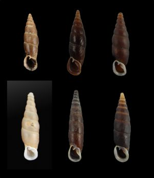 Clausiliidae (door snails)