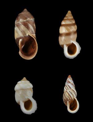 Enidae (Bulin snails)