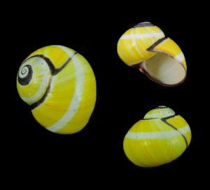 Polymita picta (Painted snail)