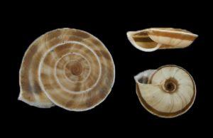 Laeocathaica prionotropis