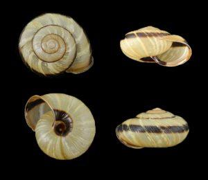 Euhadra subnimbosa
