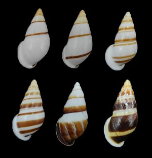 Dolichostyla virgata (Striped helicostyla)