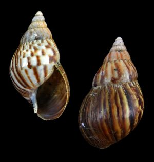 Lissachatina fulica (Giant african snail)