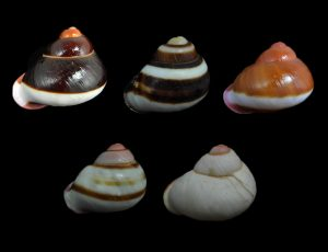 Acavus haemastoma (Red-mouthed lustful snail)