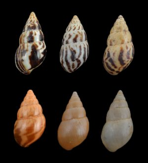 Limicolaria kambeul (Kambeul dwarf achatina)