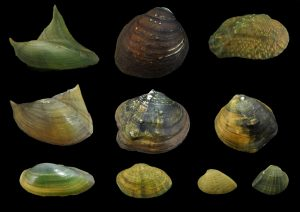 Unionidae (River mussels)