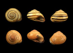 Helicidae (typical snails)