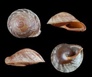 Anixa zebuensis