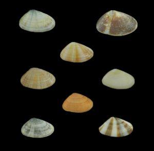 Donacidae (Bean clams)