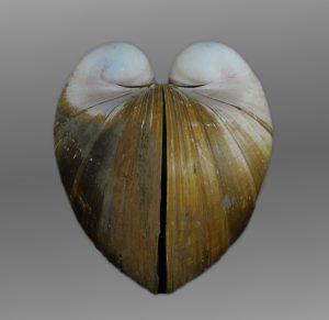 Glossidae (Heart clams)