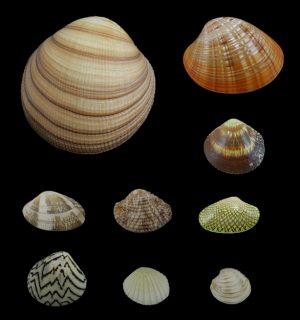 Veneridae (Venus clams)