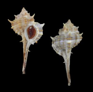 Vokesimurex elenensis (Santa Elena murex)