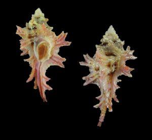 Pterynotus martinetanus (Fenestrate murex)